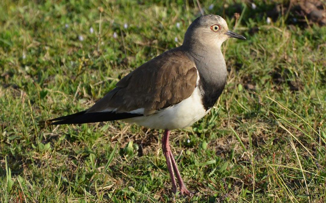 Bird-Dullstroom